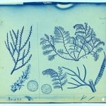 Cyanotype of botanical items from Thomas Smillie Collection, Smithsonian